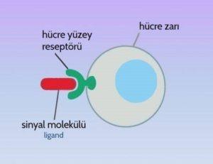 hücre membranı